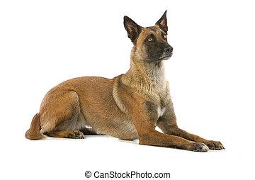 berger, chien, belge