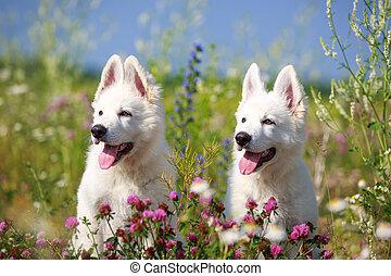 berger, dog, suisse, blanc