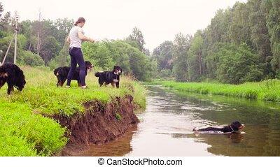 berger, femme, quatre, bernese, rivière, chiens