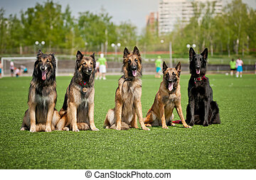 berger, groupe, chiens, belge