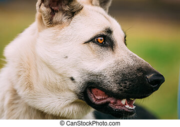 berger, heureux, jeune, haut, chien, fin, portrait, est, européen