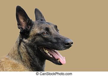 berger, regard, chien, figure, belge, vif, attentif, ordres, malinois, heureux