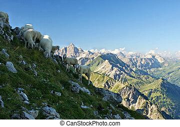 Bergschafe - Eine Schafherde grast an einem Bergmann mit...