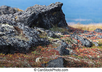 Bering gopher in the autumn tundra