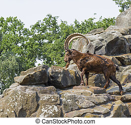 Mountain goat climbing on the rocks