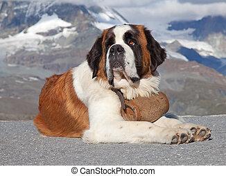 bernard, st. 。, 犬