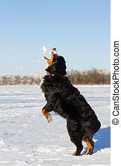 Bernese dog run