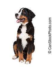 bernese gebirgs hund, junger hund