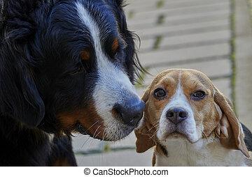 bernese mountain dog and beagle