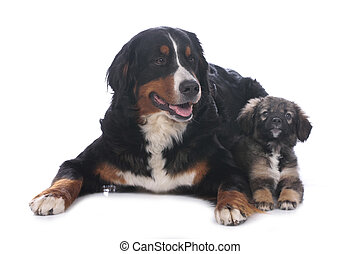 Bernese mountain dog and mixed breed puppy