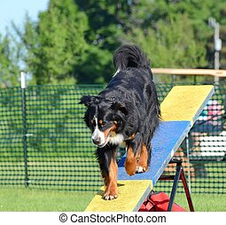Bernese Mountain Dog at Dog Agility Trial