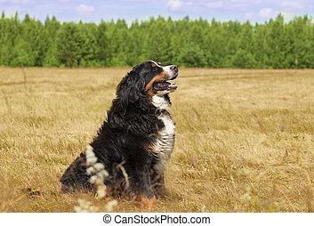 Bernese Mountain Dog (Berner Sennenhund)