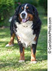 Bernese Mountain Dog (Berner Sennenhund, Bernois)