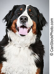 Bernese mountain dog. Close-up portrait