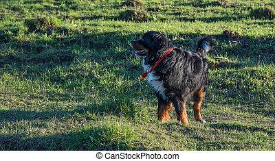Bernese Mountain Dog happily walking on grass