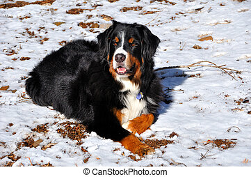 Bernese Mountain Dog in Lassen National Forest, California