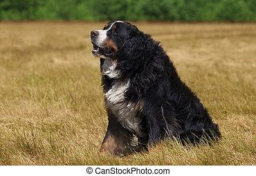 Bernese Mountain Dog in the green field