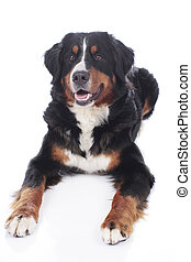 Bernese mountain dog lying on white