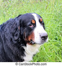 Bernese mountain Dog on a walk in the Park.