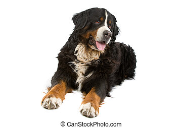 Bernese mountain dog laying or Berner Sennen, isolated on white background