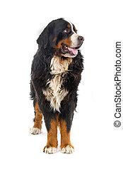 Bernese mountain dog or Berner Sennen - Bernese mountain dog...
