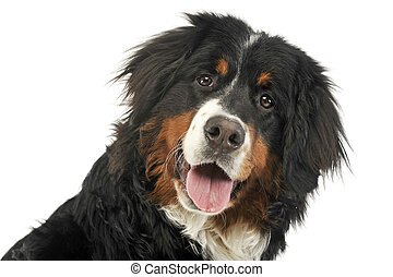 Bernese Mountain Dog portrait in the white photo studio
