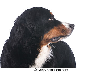 Bernese mountain dog profile