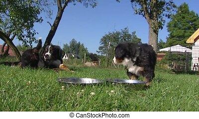 Bernese Mountain Dog pups eating from bowl. Bernese Mountain...