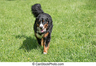 Bernese mountain dog  running through the grass