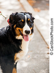 Bernese mountain dog sitting in summer