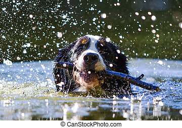 Bernese Mountain Dog swim with stick