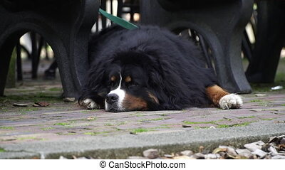 Bernese Mountain Dog waiting for its owner 1 - Bernese...