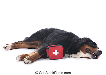 Bernese mountain dog with first aid kit