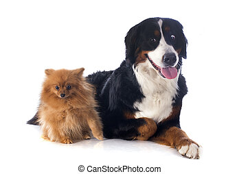 portrait of a purebred bernese mountain dog and spitz in front of white background