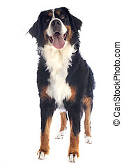 bernese moutain dog - portrait of a purebred bernese ...