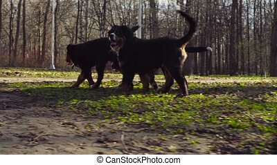 Bernese shepherd dog and her puppies in a park