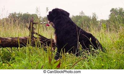 Bernese shepherd dog is sitting near a fallen tree. The...