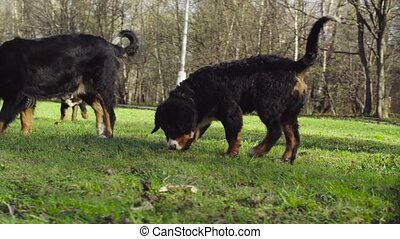 Bernese shepherd dog puppies on a grass in a park