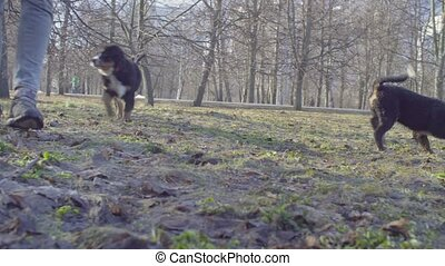 Bernese shepherd dog puppies running in the park in early...