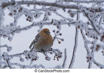 berries., 凍らせられた, ブランチ, 鳥