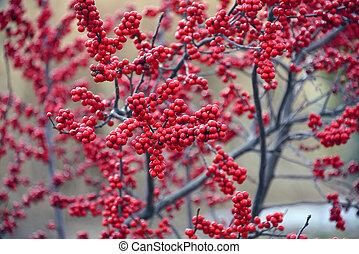 Bright red winterberries (Ilex verticillata) on bare branches during the winter season.
