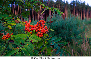 Berries and leaves of mountain ash in the forest.
