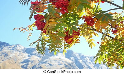 Berries autumn mountain - Red viburnum branch in the forest...