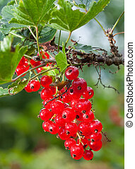 berries, currant, rød, branch
