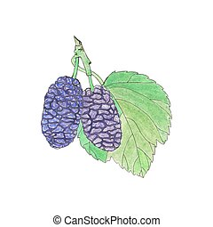 berries., echte, hand-drawn, watercolor, vector, drawing., mulberry., illustration.