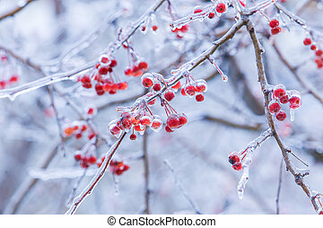 berries in ice in the winter