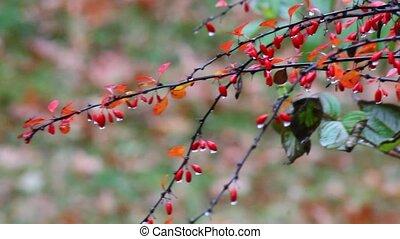 Berries in the rain