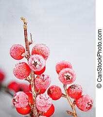 Berries in winter (Cotoneaster)