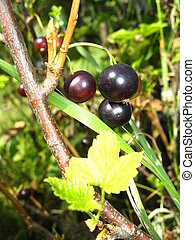 Berries of a black currant