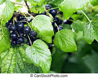 Berries of a black currant with drops after rain